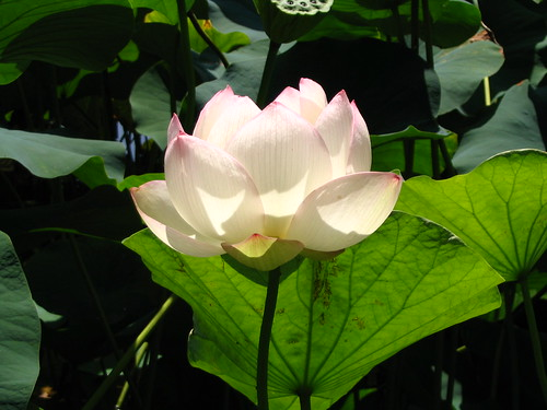 blooming lotus | by Karen Rzonca