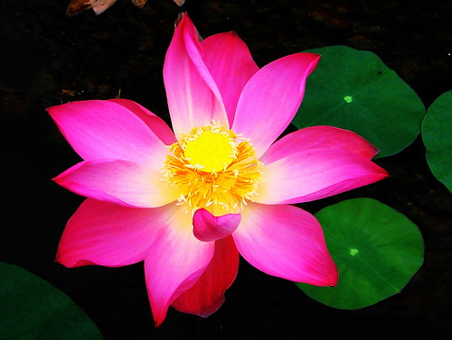 My Lovely Lotus (Explore 23rd August, 2007) | by Ibnu Yusuf