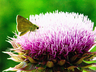 Thistle Bloom With Moth | by raisinsawdust - (aka: tennphoto)