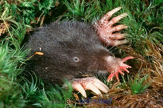 star-nosed-mole-3 | by gordonramsaysubmissions