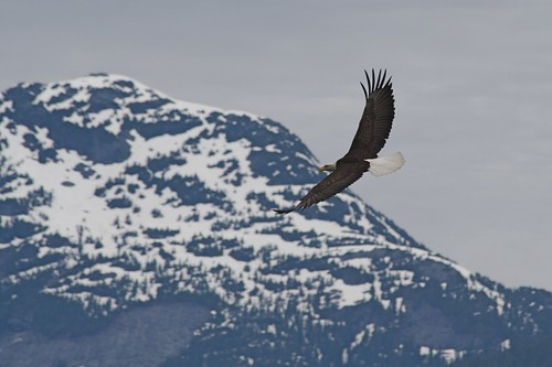 Bald Eagle in  flight | by alumroot