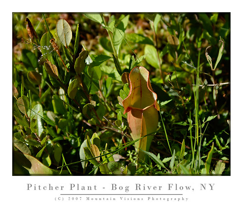 Carnivorous Pitcher Plant On the Bog River Flow | by Mountain Visions
