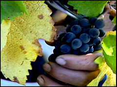 Wine Grapes Picked By Hand | by Cooking Up A Story