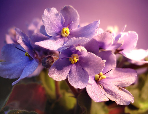 violetas | by wagner campelo