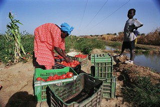 Harvesting tomatoes | by World Bank Photo Collection