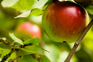 Apples | by Sharon Mollerus