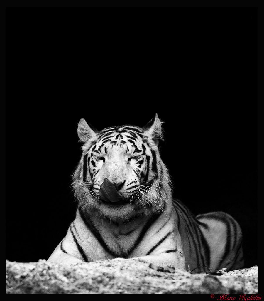 La tigre bianca...e nera | marco guglielmi | Flickr