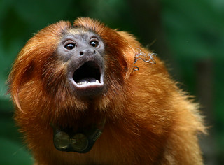Golden Lion Tamarin | by hbp_pix