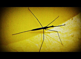 Daddy Long Legs | by tropicalart77 (Tammy Dial Gray)