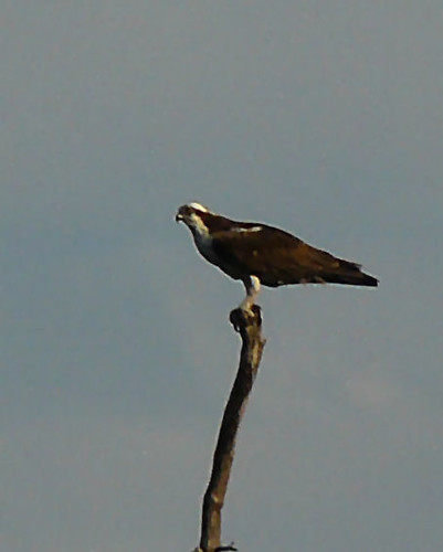 Osprey at Dripping Springs | by FreeWine