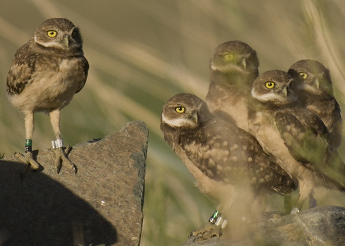 Burrowing Owls | by art126
