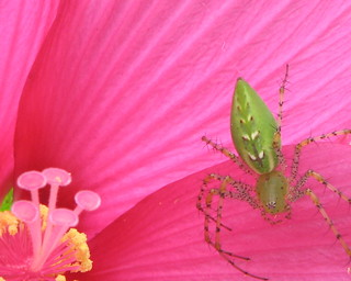 Spider Lynx green on pink hibiscus 08-31-07 | by Vicki's Nature