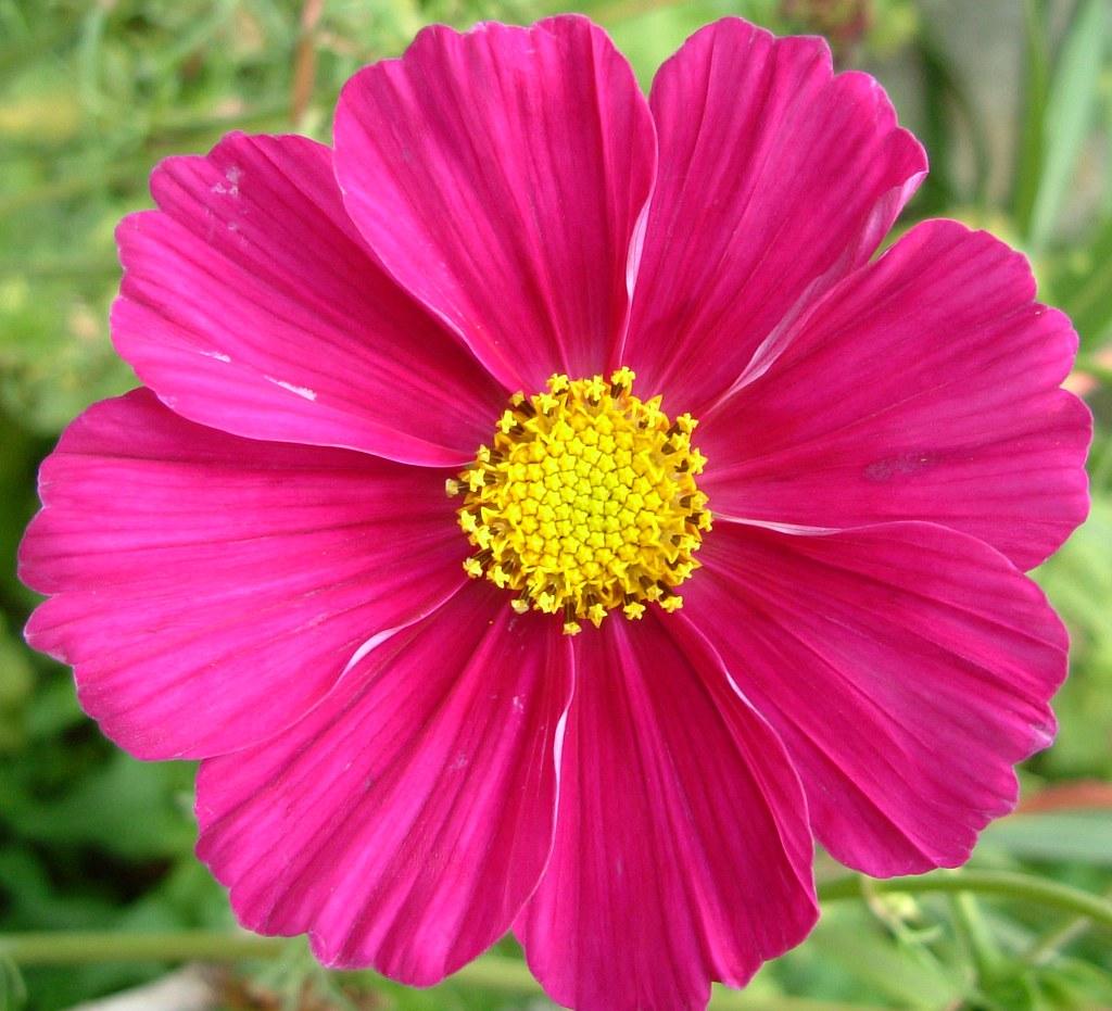 Beautiful dark pink cosmo flower of la brande cognac regi flickr beautiful dark pink cosmo flower of la brande cognac region of sw france 4 mightylinksfo