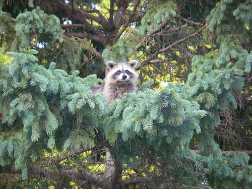 Baby Cooner in the Tree | by PierceRebecca