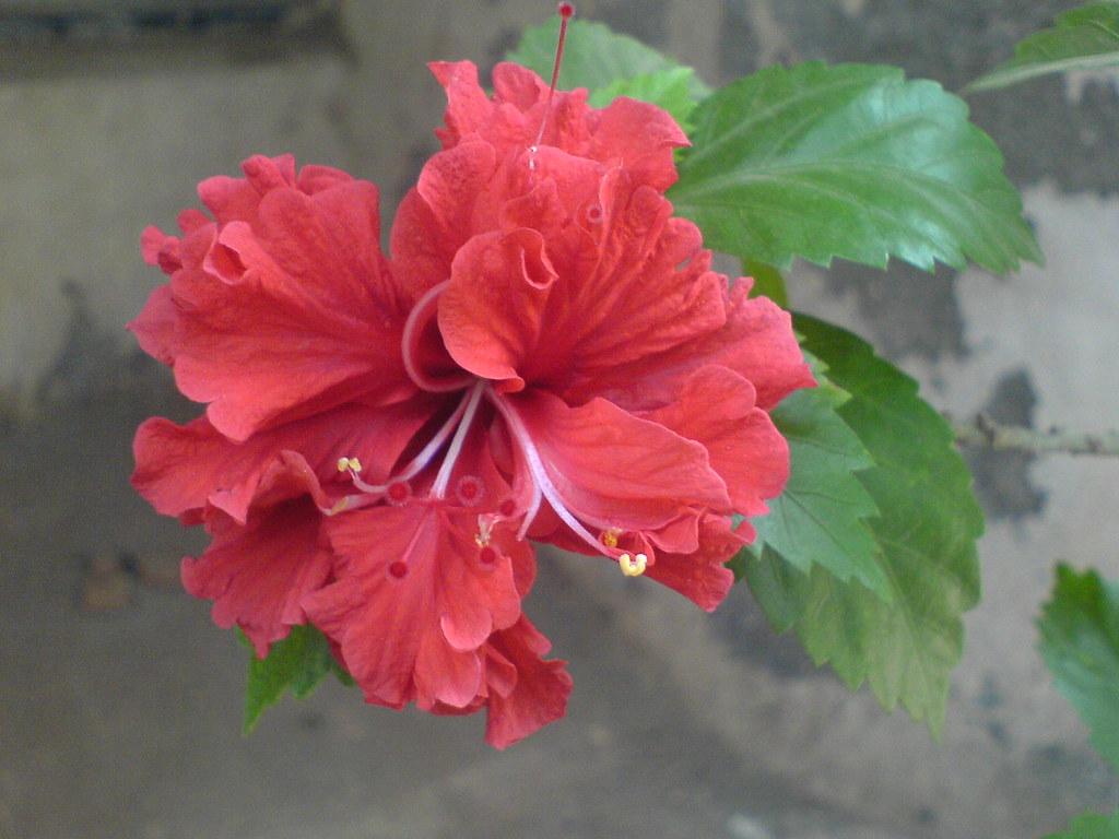 Hibiscus rosa sinensis httpsc1aticflickr211109848084942d1e9303d6b izmirmasajfo