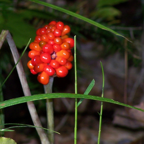 Jack-in-the-pulpit (Arisaema triphyllum var.)
