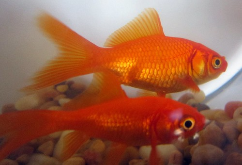 There is a natural hootchy-kootchy motion to a goldfish. ~Walt Disney | by katerha