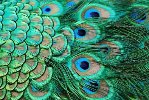 Feathers of a peacock | by Stephen Spraggon