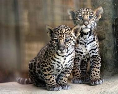 Kids Sandiegozoo Org Animals Jaguar