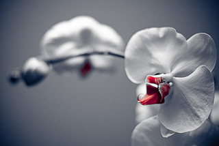 Phalaenopsis | by Richard Boak (stuck on the rock)