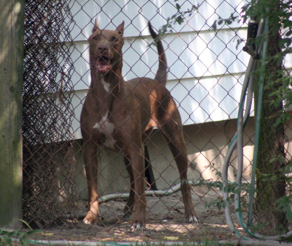 doberman pitbull mix a neighbor has two of these i had t flickr