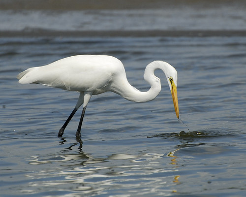 Great Egret_20070902_002 | by mrBobBaker