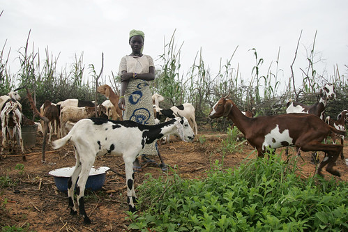 Woman fattening goats in Niger | by International Livestock Research Institute