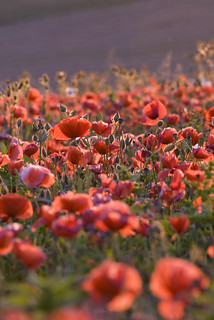 _DSC5974 Poppies | by luccrul