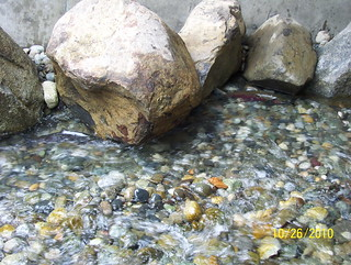 Fish return to Chain-up Creek | by WSDOT