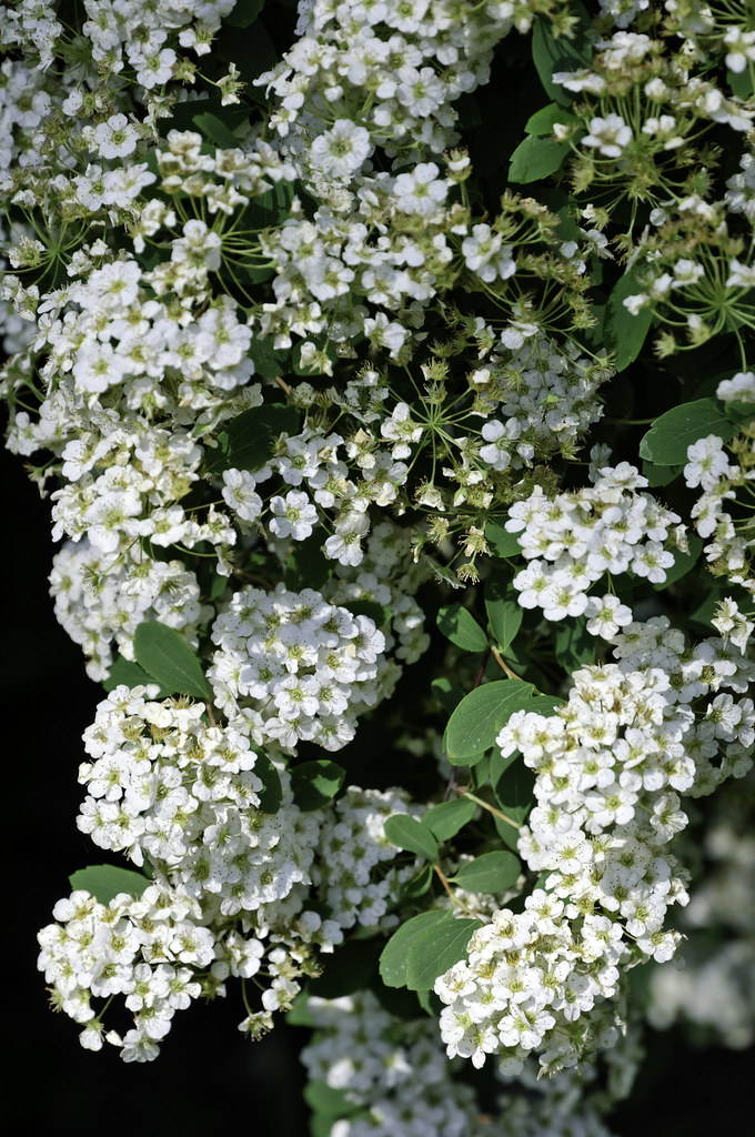 Clustered White Flowers In A Bush A Large Bush On The Side Flickr