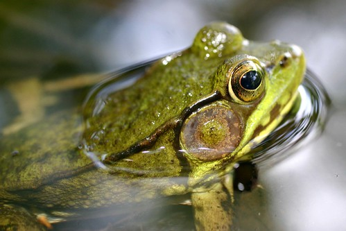 A Frog's Surface Tension | by Razzy Raz