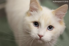 White Siberian Cat | by HJSimpson