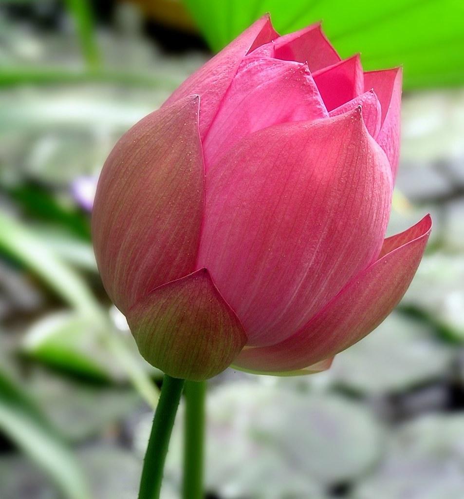 Nelumbo nucifera indian lotus enpediawikinelu flickr indian lotus by linda dv away mightylinksfo