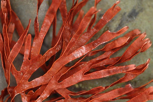 RED SEAWEED | by encyclopediabotanica