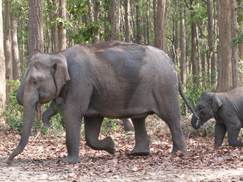 Asia India Uttarachal Jim Corbett Park Vagamundos