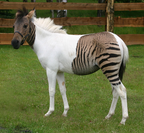 Zebra-Pferd Eclyse im Zoo Safaripark Stukenbrock | by uri press