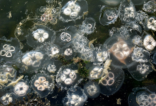 jellies must love that dirty water too | by sandcastlematt
