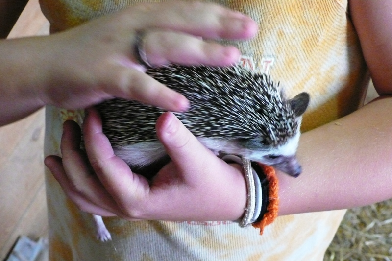 Adult White belly hedgehog
