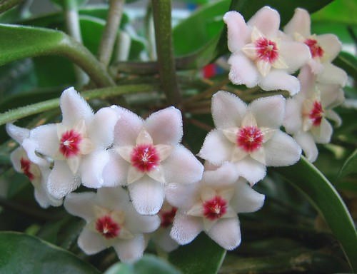 this year's hoya flowers | by greenhem