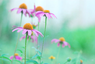 purple coneflower | by fake_plastic_earth