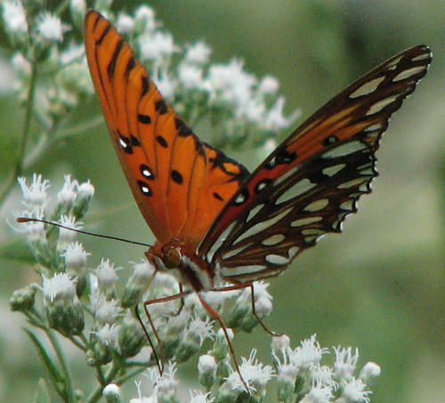 Gulf Fritillary  - I love that face | by Vicki's Nature