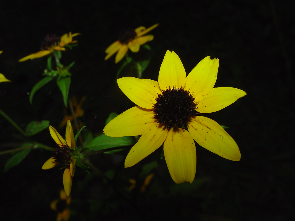 Yellow Flower With Black Center Dsc00179 I Used The Flash Flickr
