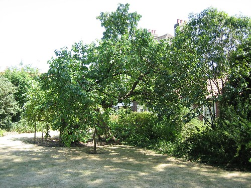 Mulberry tree in the garden at Hogarth's House | by Tolstoy2007