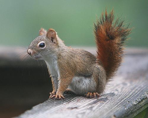 miss scarlett red squirrel tamiasciurus hudsonicus on my flickr. Black Bedroom Furniture Sets. Home Design Ideas