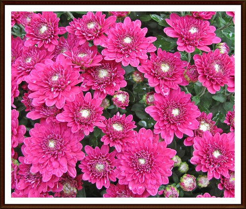 RASPBERRY SHERBET MUMS | by Betty's Collections
