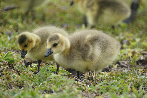 Goslings | by thomevered