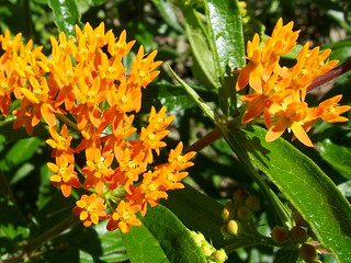 Asclepias tuberosa 蝴蝶乳草花 | by beautifulcataya