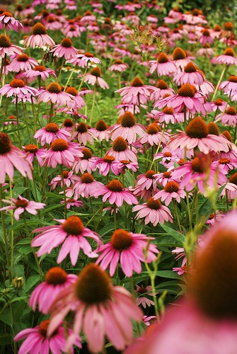 A Bunch of Coneflowers | by j man.
