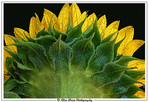 Back of Sunflower | by alicemariedesign