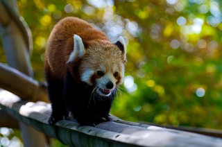 Red Panda | by Emerging Birder